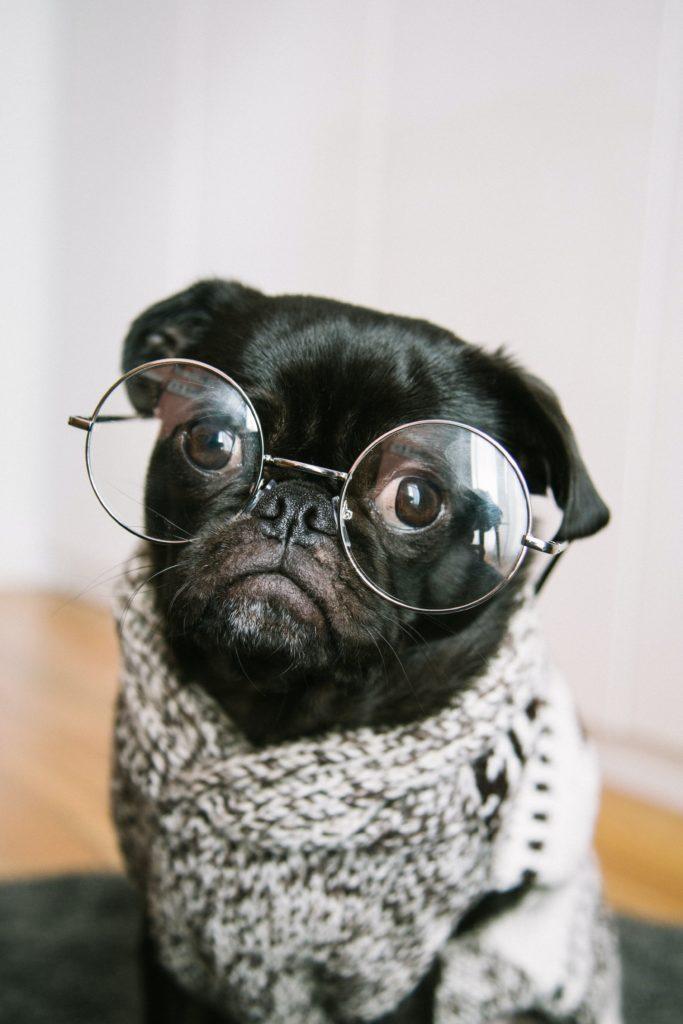 Pug wearing glasses
